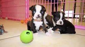 Beautiful Boston puppies in The Woodlands, Texas
