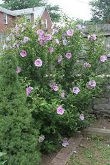 Rose of Sharon Bushes in Plainfield, Illinois