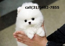 =hsf`t__ Pomeranian puppies hsft in Altus, Oklahoma