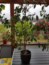 Tall Bonsai Plant - Now a FICUS Plant in Ramstein, Germany