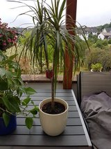 Nice Medium Tall Plant in Ramstein, Germany