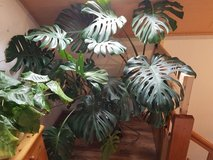 Nice Monstera Delicsiosa Plant in Ramstein, Germany