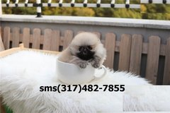 @g`ty'l 6Pomeranian puppiess og in Beaumont, Texas