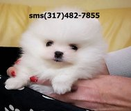 .t?x;f?r Pomeranian puppies txfr in Fort Riley, Kansas