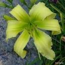 Daylily, Spider Miracle in Warner Robins, Georgia
