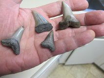 4 PREHISTORIC SHARK TEETH in Cherry Point, North Carolina