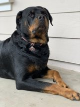 Looking for male Rottweiler in Travis AFB, California