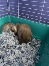 2 female bonded Holland lop Bunnys in Chicago, Illinois