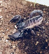 Re-homing this 1 y/o Japanese Forest Scorpion. in Okinawa, Japan