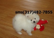 **!)i*e Pomeranian pupps opkm in Beaumont, Texas