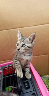 Sweetest kitten ever needs forever home in Okinawa, Japan