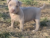 American pitbull terrier puppies Ready in Pasadena, Texas