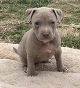 American pitbull terrier puppies for New Homes. in Algonquin, Illinois