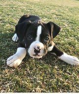 Very healthy and cute Boston Terrier puppies for you.They are vet checked in Sacramento, California