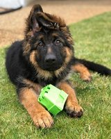 We have a male & a female German Shepherd puppies for adoption in Sacramento, California