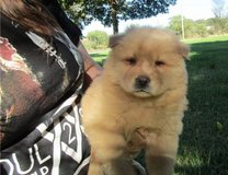 We have a beautiful litter of 8 Chow Chow pups. They come with AKC registration papers in Sacramento, California