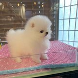 Beautiful Pomeranian puppies just turned 12 weeks and are now ready to meet their new loving fam... in Sacramento, California