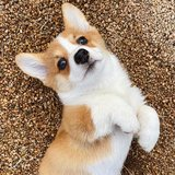 Corgi puppies for adoption. Fine puppies, AKC registered. Very cute, playful and healthy in Sacramento, California