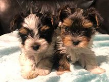We have vet check and vaccinated pure breed Yorkshire terrier puppies 12 weeks old. in Sacramento, California