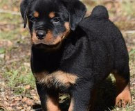 AKC registered Rottweiler puppies for sale, male and female in Pasadena, Texas