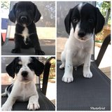 2 females, and 1 male mixed puppy in Fort Leonard Wood, Missouri