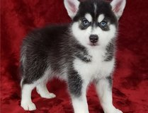Amazing Pomsky puppies, a male and female. in Belleville, Illinois