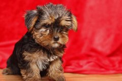 Male and female Yorkshire terrier puppies to offer. in Belleville, Illinois