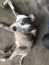 Cur/ Pit mix dog in Fort Polk, Louisiana