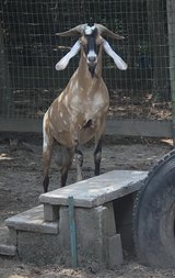 Nubian Buck approx 3 yrs old in Kingwood, Texas