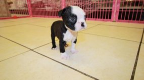Boston puppies for new homes in Great Lakes, Illinois