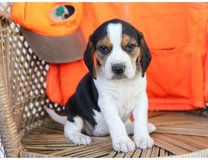 Full Bred Beagle Puppies for adoption in Fort Campbell, Kentucky