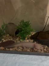 Axolotl with all accessories in Wiesbaden, GE