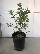 """Mexican Guava/Guayaba Fruit Tree 48"""" includes pot and actual plant is 36"""" in Camp Pendleton, California"""