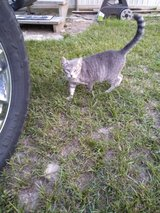 FREE  FEMALE  CAT TO GOOD HOME in Cleveland, Texas