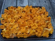 Fresh Chanterelle mushrooms in Beaufort, South Carolina
