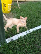 FREE  MALE CAT TO GOOD HOME in Kingwood, Texas