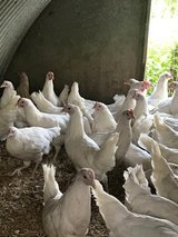 P.O.L Pullets, Ross Hybrids. in Lakenheath, UK