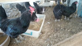 Ameraucana Chicken Laying Hens-Rare Colors in 29 Palms, California