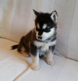 We have 2 beautiful AKC purebred Alaskan Malamute puppies for adoption in Mobile, Alabama