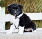 Charming Australian Shepherd puppies in Mobile, Alabama