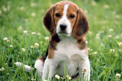 we have two lovely adorable Beagle puppies. in Mobile, Alabama