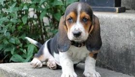 Amazing Male and female basset hound puppies for adoption in Mobile, Alabama
