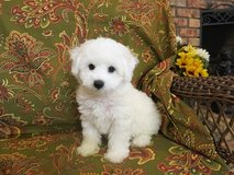We are offering our 2 Bichon Frise puppies for adoption in Mobile, Alabama