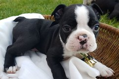 I have a male and a female Boston Terrier puppies available in Mobile, Alabama