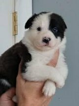There are male and female Border Collie pups in Mobile, Alabama