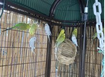 Parakeets in Travis AFB, California