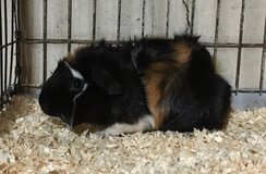 "8 Week Old Baby Guinea Pig -- Tricolor (Black / Red / White) Abyssinian Female -- ""Sarah"" in Chicago, Illinois"