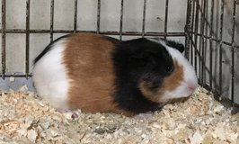 "10 Week Old Baby Guinea Pig -- Tricolor (Black / Red / White) American Female -- ""Valerie"" in Chicago, Illinois"