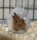 "8 Week Old Baby Guinea Pig -- Red & White Abyssinian Female -- ""Kalissa"" in Chicago, Illinois"