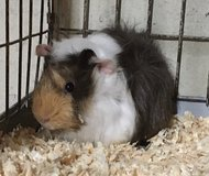 "8 Week Old White / Red / Chocolate Male Baby Abyssinian Guinea Pig -- ""Brent"" in Chicago, Illinois"